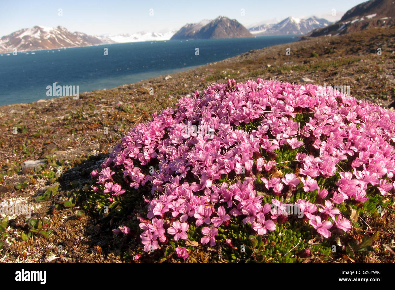 Moss campion flowers in a scenic landscape in Svalbard, Norway - Stock Image