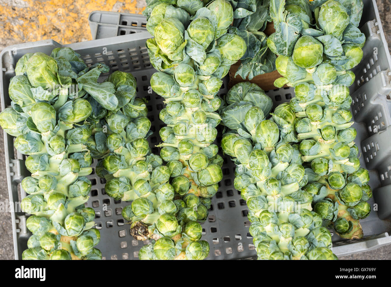 Brussel sprout stalks at the local market - Stock Image