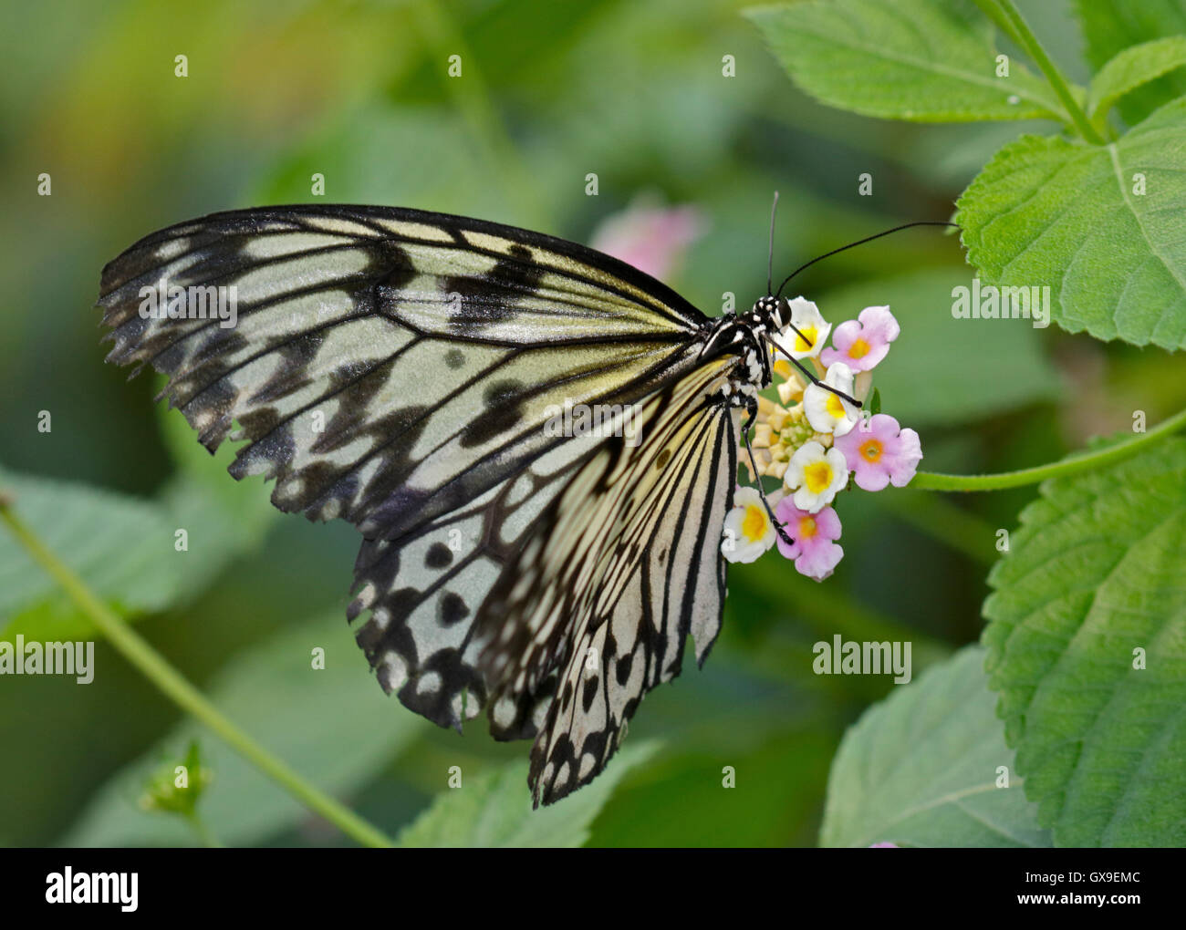 White Tree Nymph Butterfly (idea leuconoe) on Lantana Flower - Stock Image