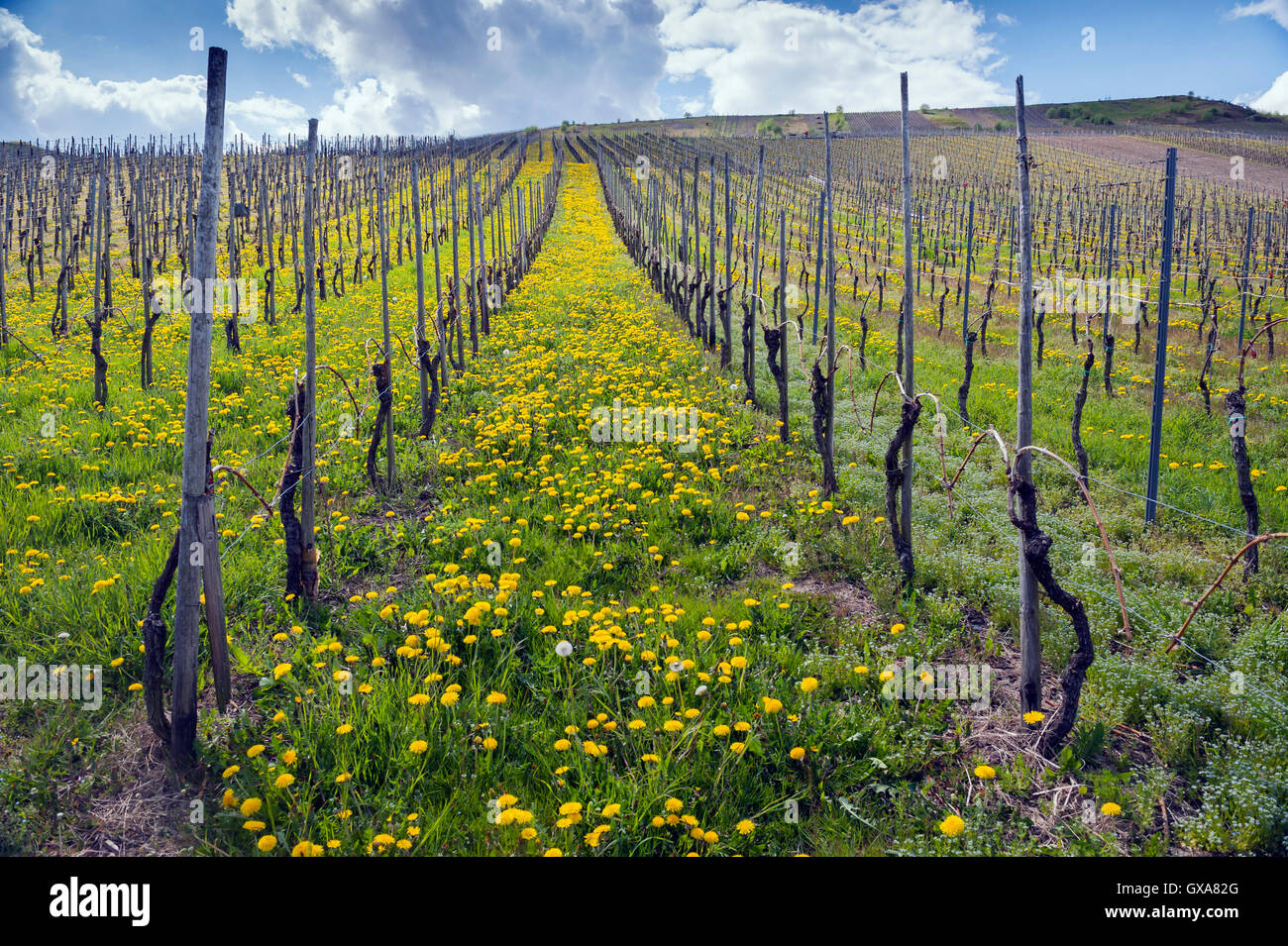 Vineyard in the Moselle Valley, Germany - Stock Image