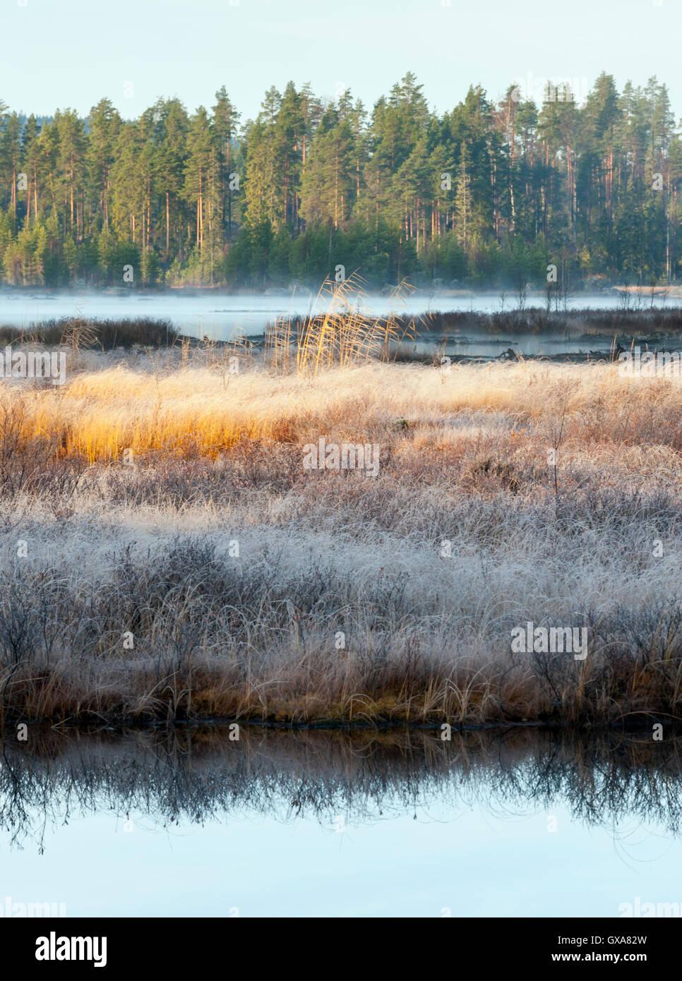 Frost in the wetlands, Sweden - Stock Image
