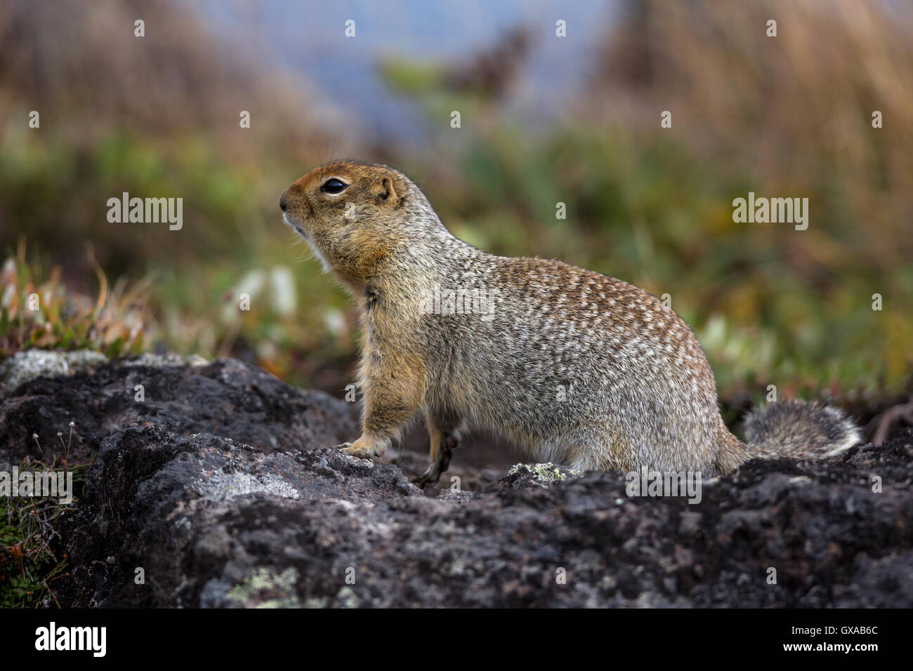 View of Arctic ground squirrel in its natural habitat Stock Photo