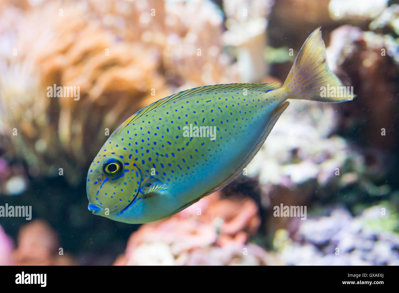 naso vlamingii - bignose unicornfish - saltwater fish - Stock Image