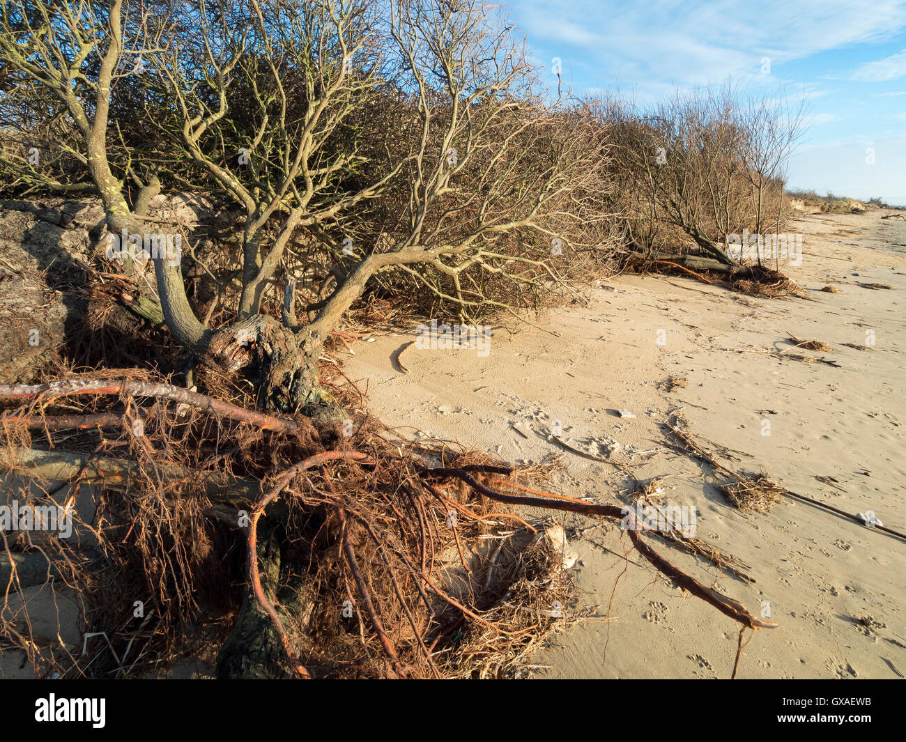 Destruction of coastal dune under the impact of storms. - Stock Image