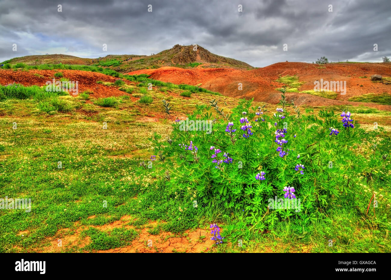 Lupin flower in Haukadalur Valley - Iceland Stock Photo