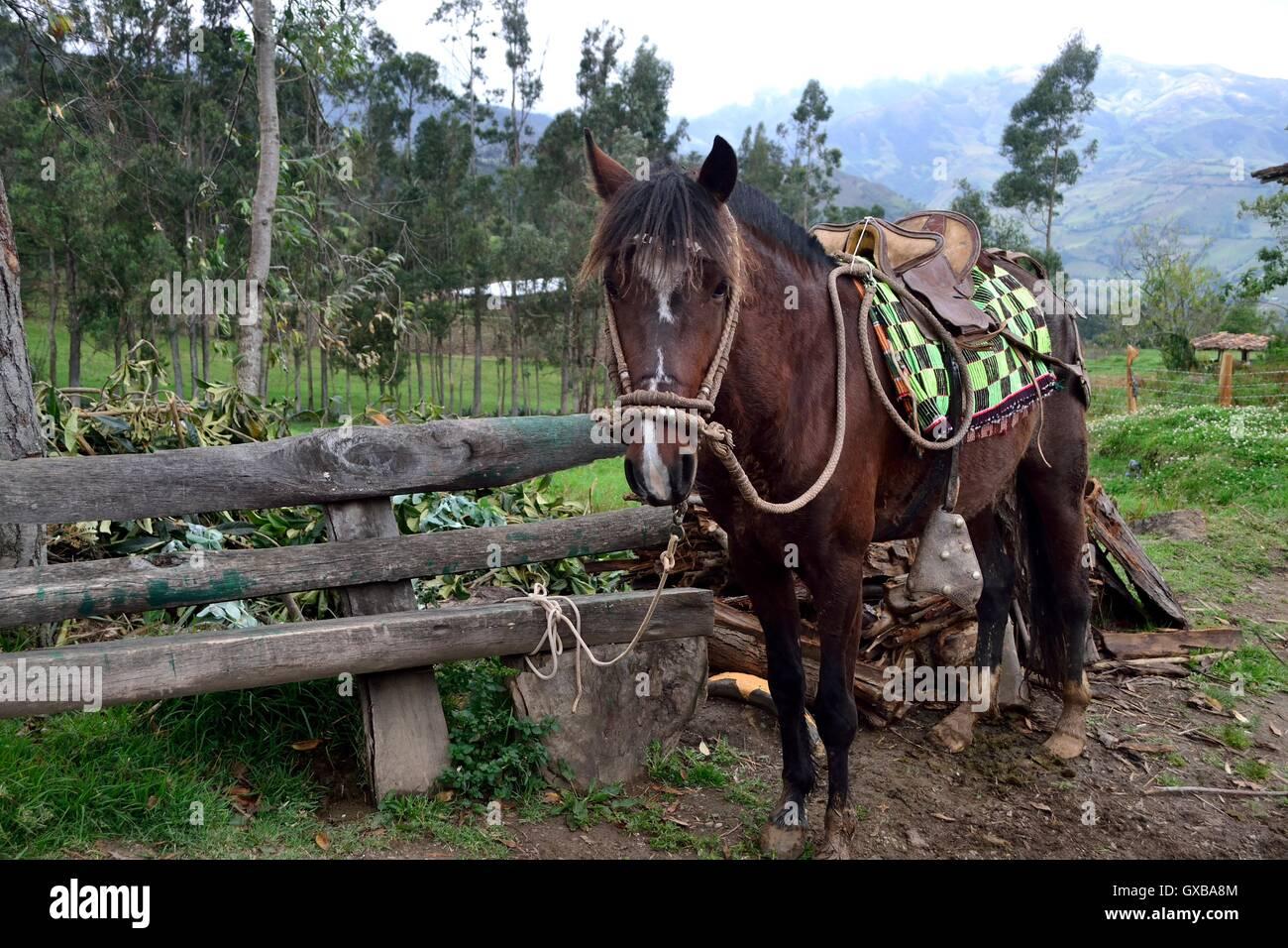 Horse in Pulun ' Las Huaringas '  - HUANCABAMBA.. Department  of Piura .PERU - Stock Image