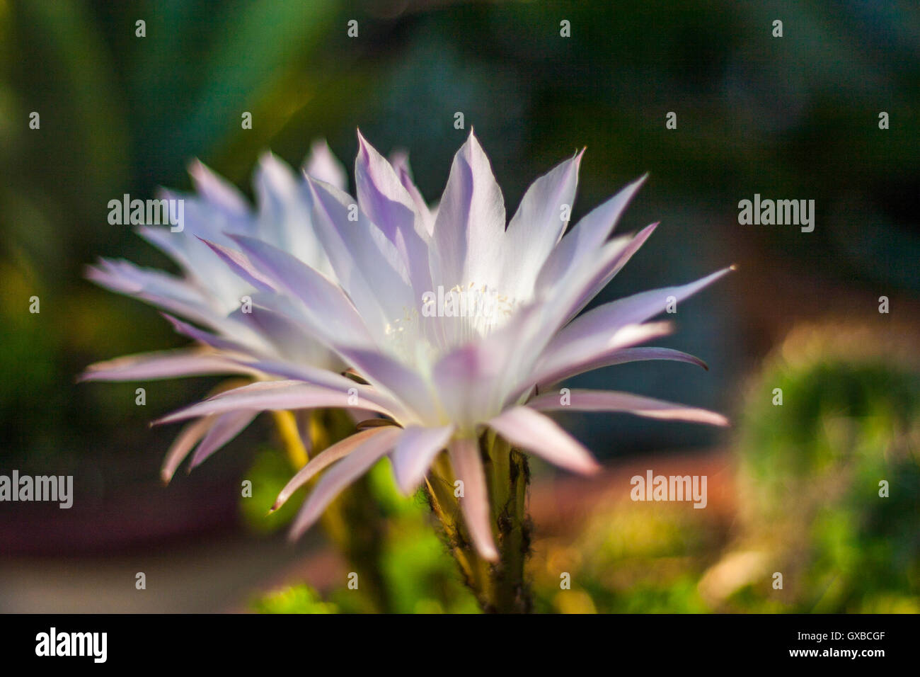 White & violett flower - Stock Image