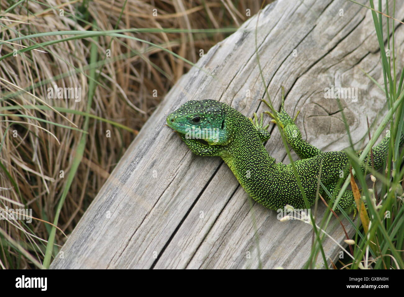 Male green lizard on a piece of wood at St. Ouen's Bay, Jersey, Channel Islands Stock Photo