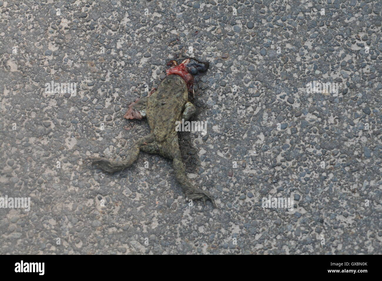 A frog squashed by a car on a road with its innards coming out through its mouth. Stock Photo