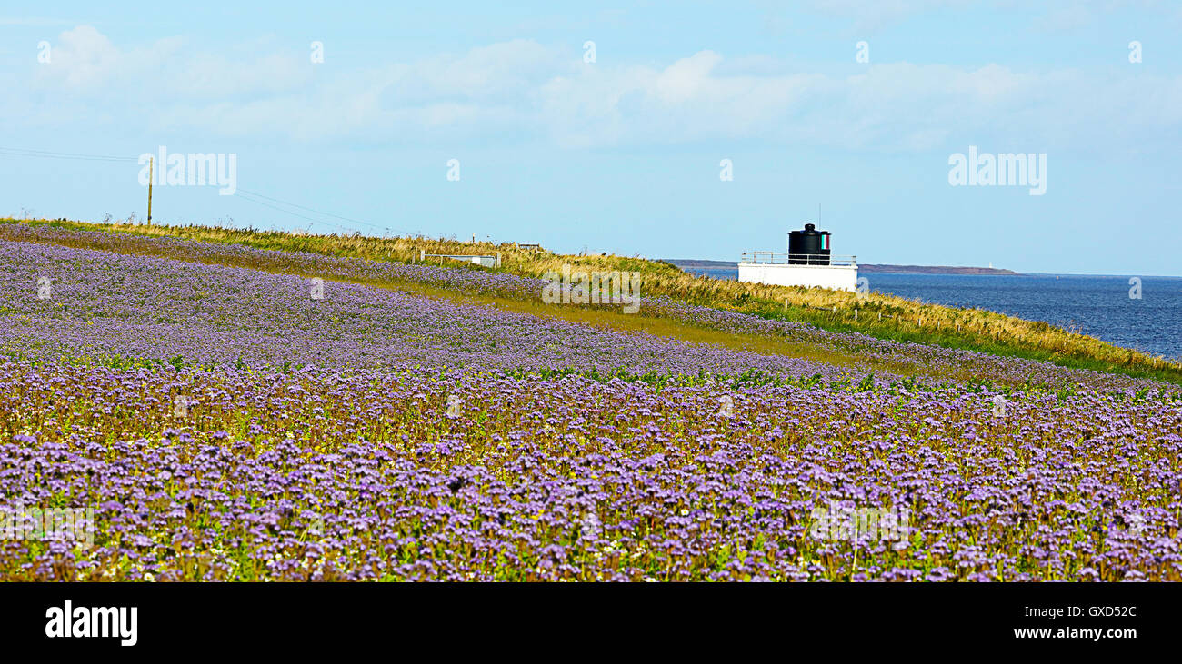 Phacilia by the sea. Northumberland.. England Fog Horn near by.  Bamburgh - Stock Image