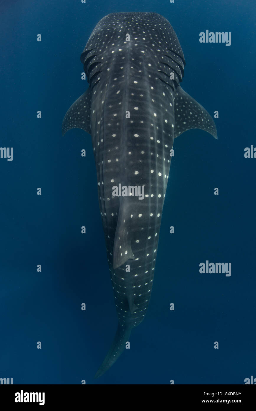 Large whale shark (Rhincodon typus) passing, Isla Mujeres, Mexico - Stock Image