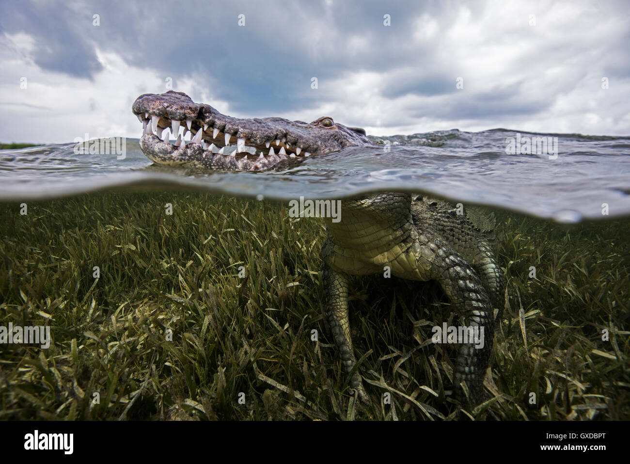 American croc (Crocodylus acutus) at sea surface, Chinchorro Banks, Mexico - Stock Image