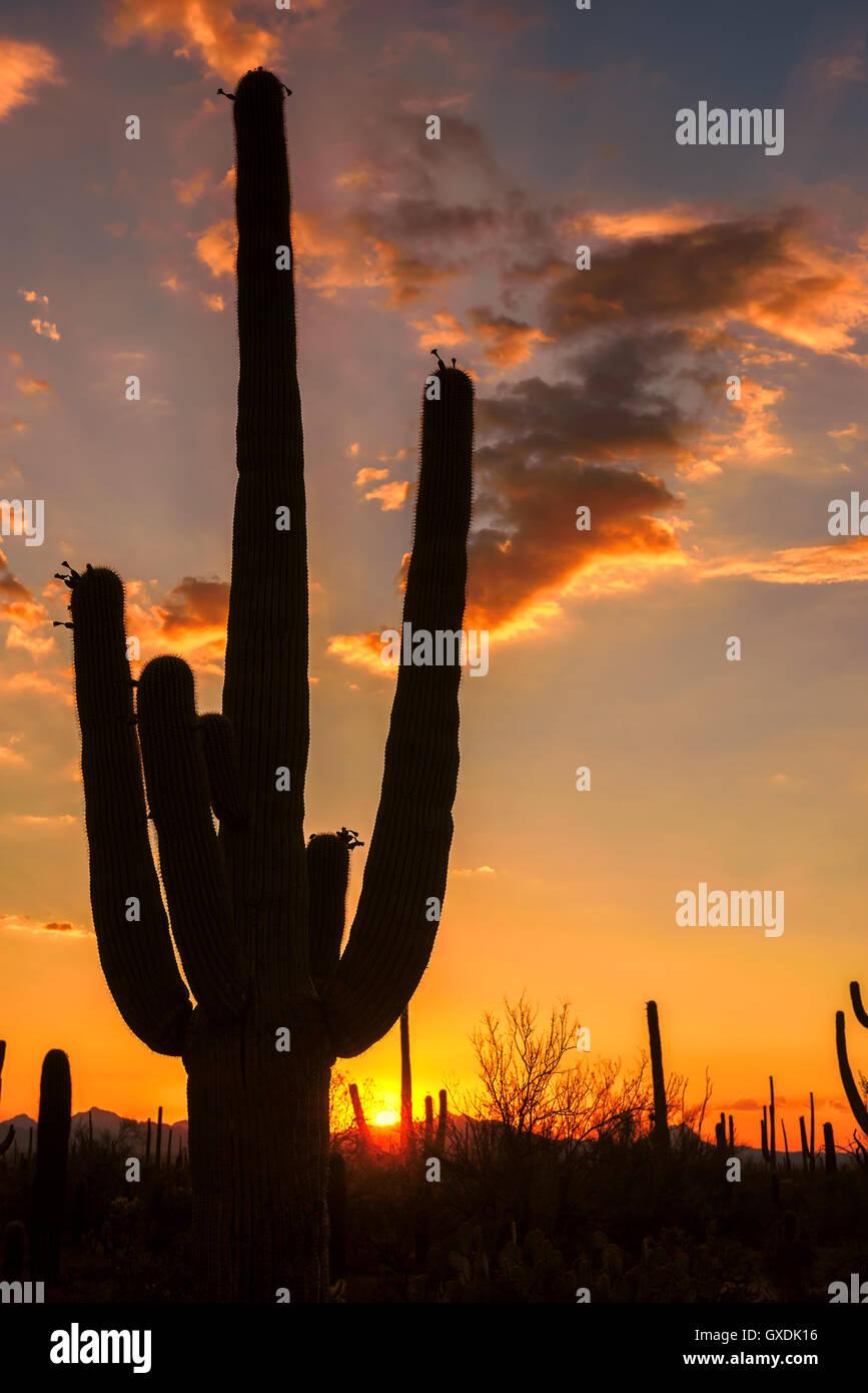 Saguaro Silhouette at sunset - Stock Image