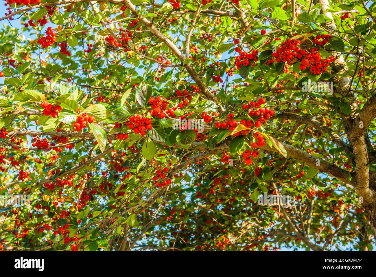 Red hawthorn berries on a still green tree in autumn. Hawthorn tree is considered an elf tree so do not cut it... - Stock Image