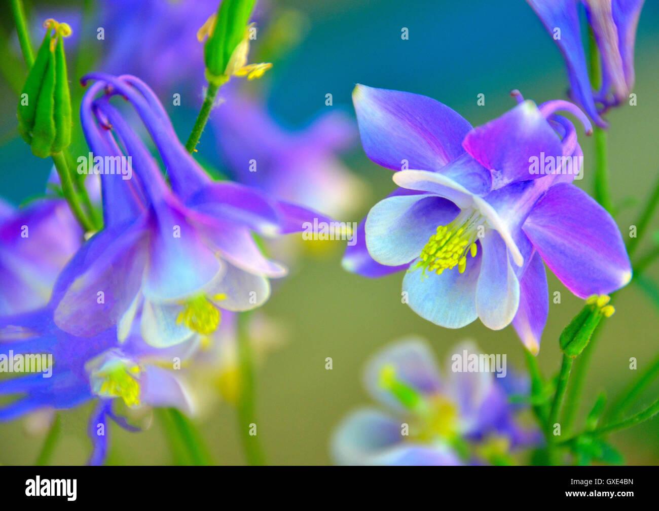 Colorado State Flower Stock Photos Colorado State Flower Stock