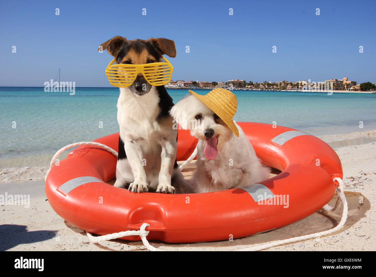 jack russell terrier and maltese dog sitting in a lifebuoy on the beach, with sunglasses and strawhat, funny dogs - Stock Image
