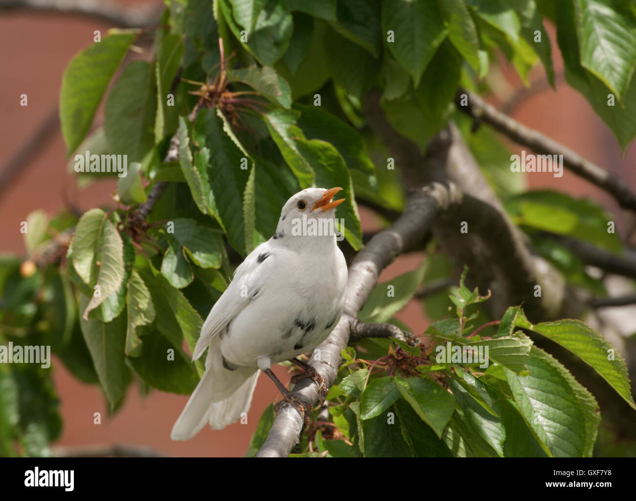 male Blackbird,Turdus Merula,with leucistic plumage,(leucism), London,Great Britain.Leucism causes abnormal feather - Stock Image