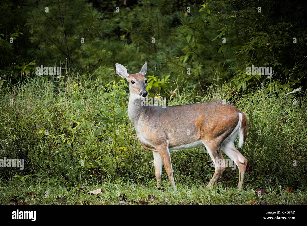 Deer in Stone Mountain State Park. Roaring Gap North Carolina wildlife - Stock Image