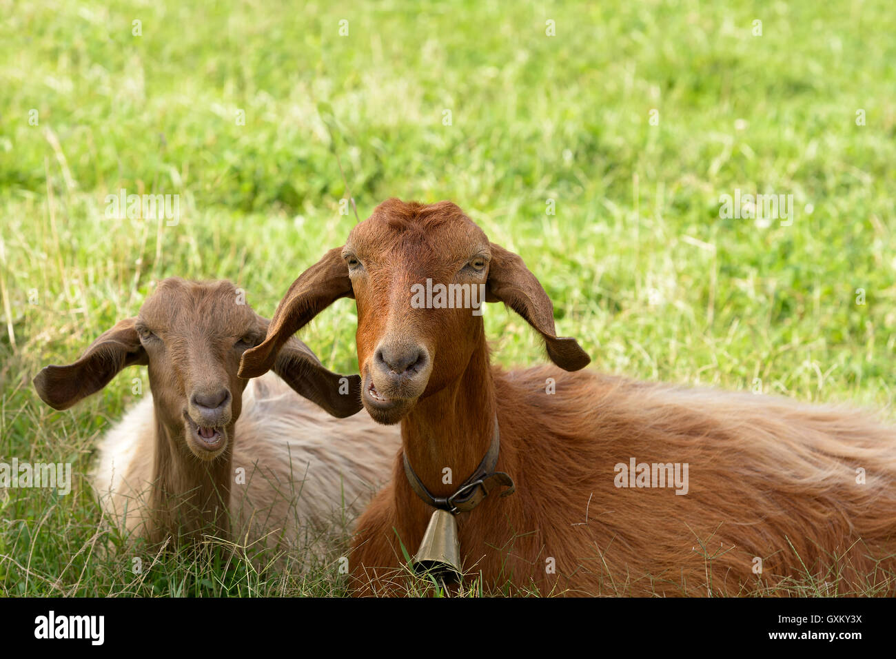 Goats, mother and son relax ruminating in the green meadow. Sardinia. - Stock Image