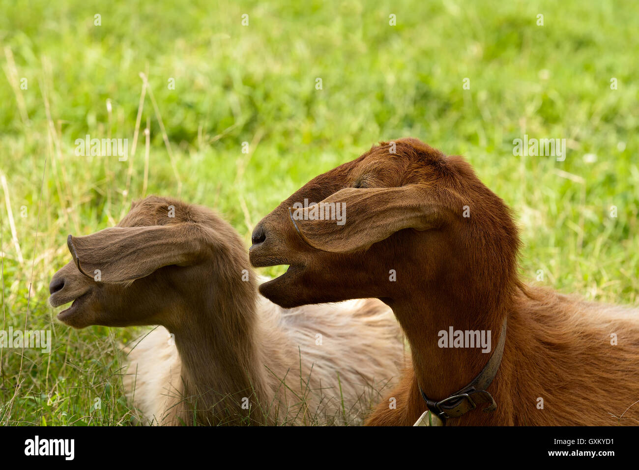 Goats graze in the green countryside in Sardinia. - Stock Image
