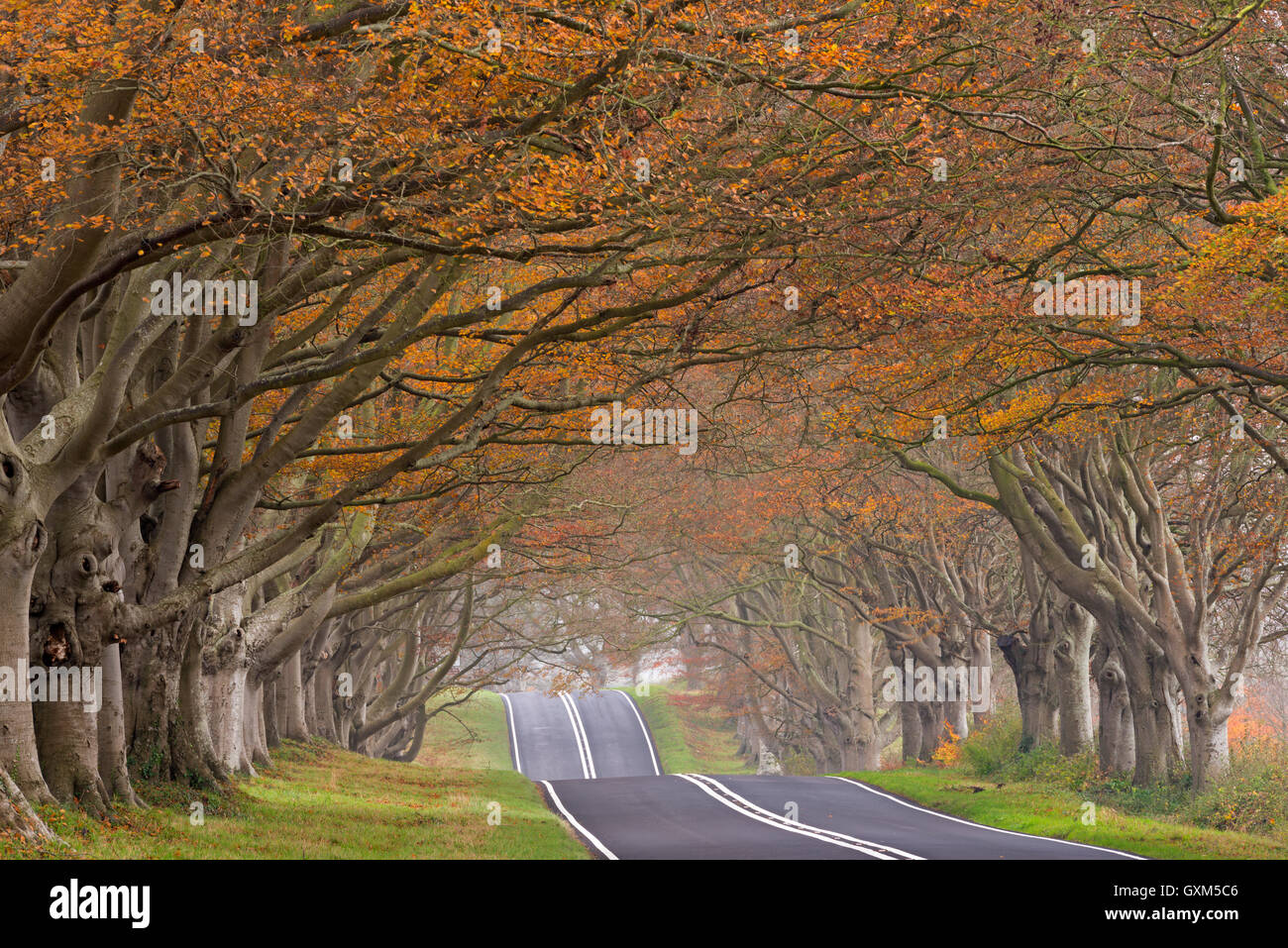 Country road passing through a tunnel of colourful autumnal beech trees, Dorset, England. Autumn (November) 2014. - Stock Image