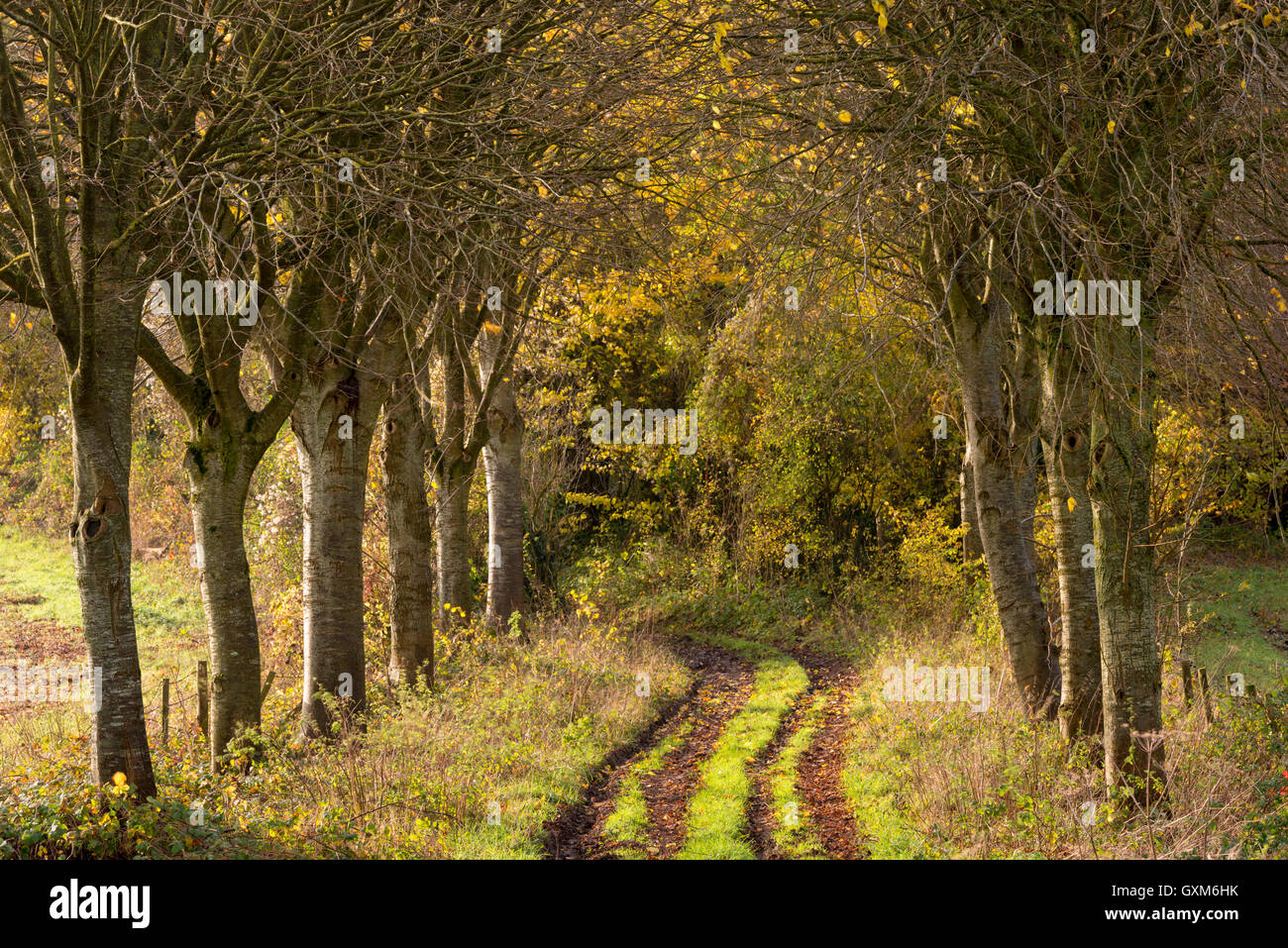 Tree lined track in rural Dorset, England.  Autumn (November) 2014. - Stock Image