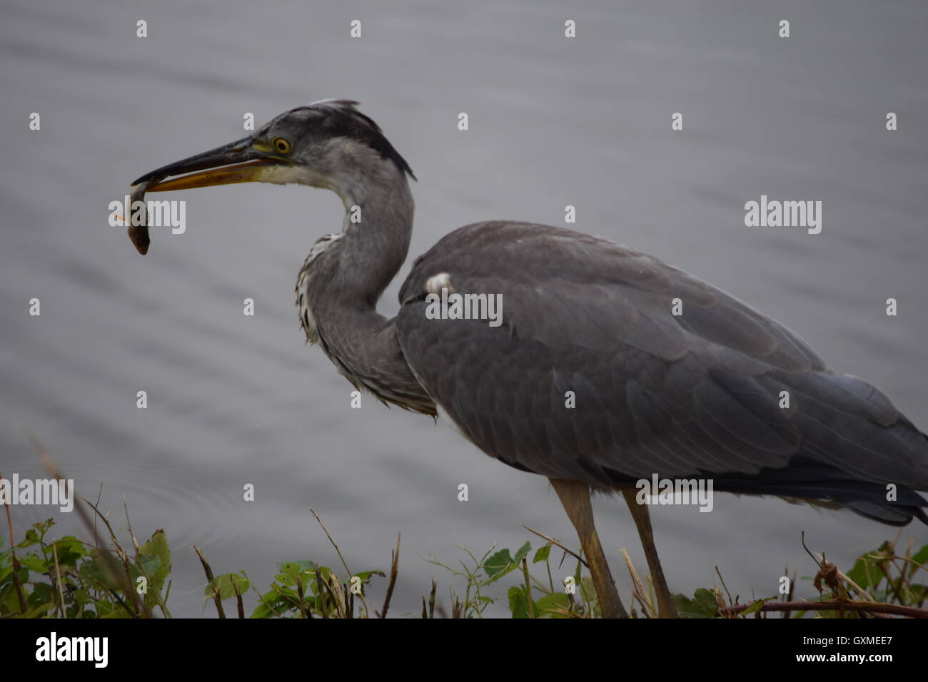 Heron has just caught a fish - Stock Image