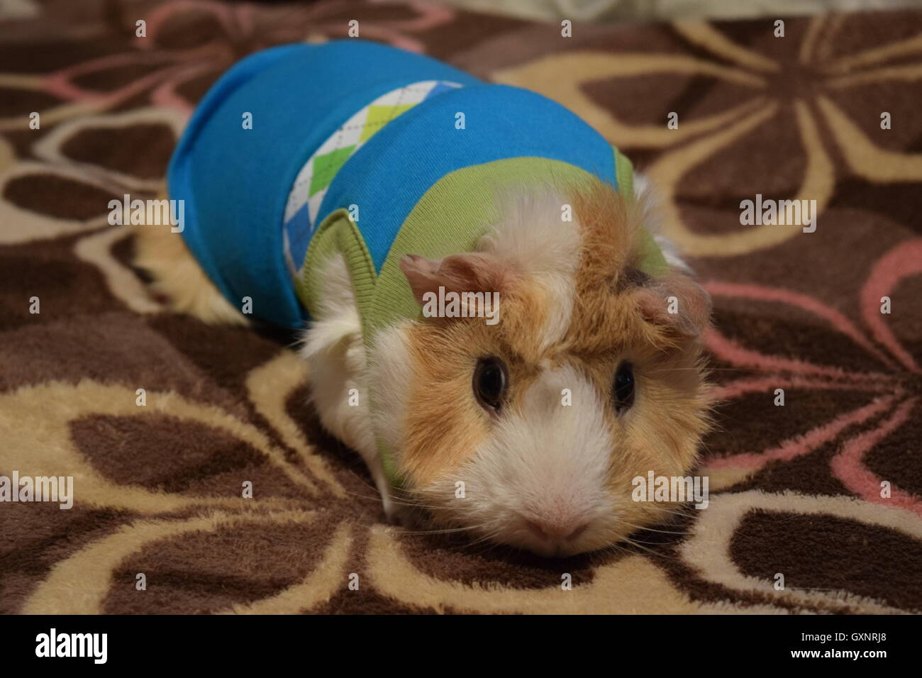 Izzy the Guinea Pig - Stock Image