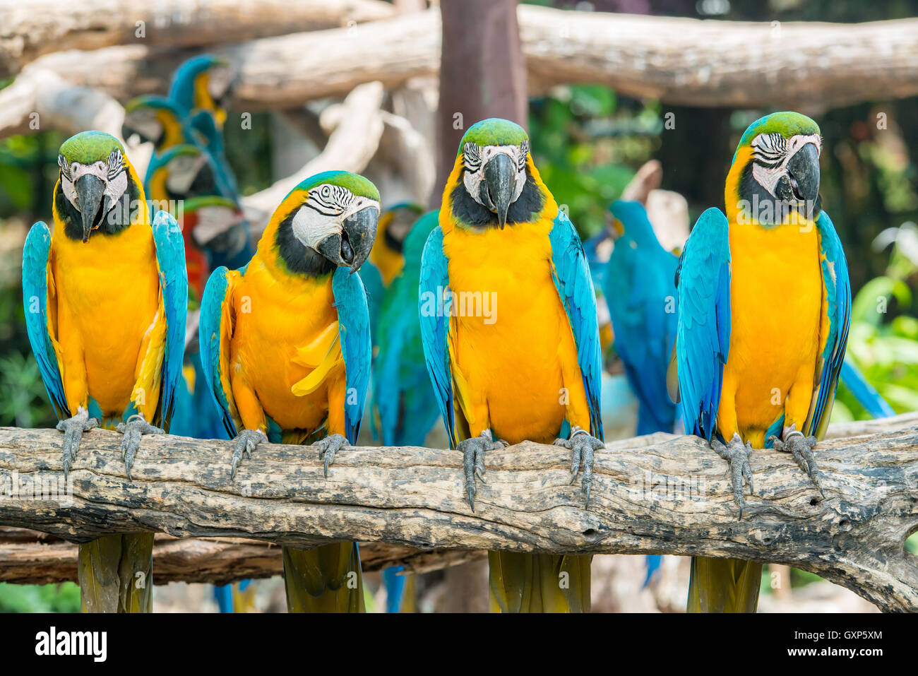 Four blue and yellow macaw birds sitting on wood branch. Colorful macaw birds in forest. - Stock Image