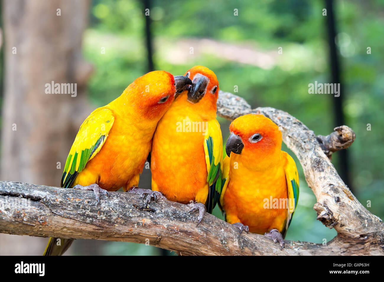 Three sunconure bird perch in wood branch in forest. Sunconure bird interacting. - Stock Image