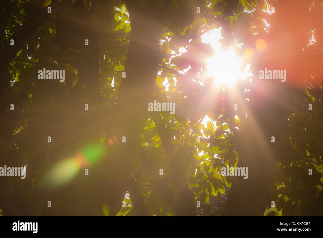 Sun ray and lens flare through leaves of tree. - Stock Image