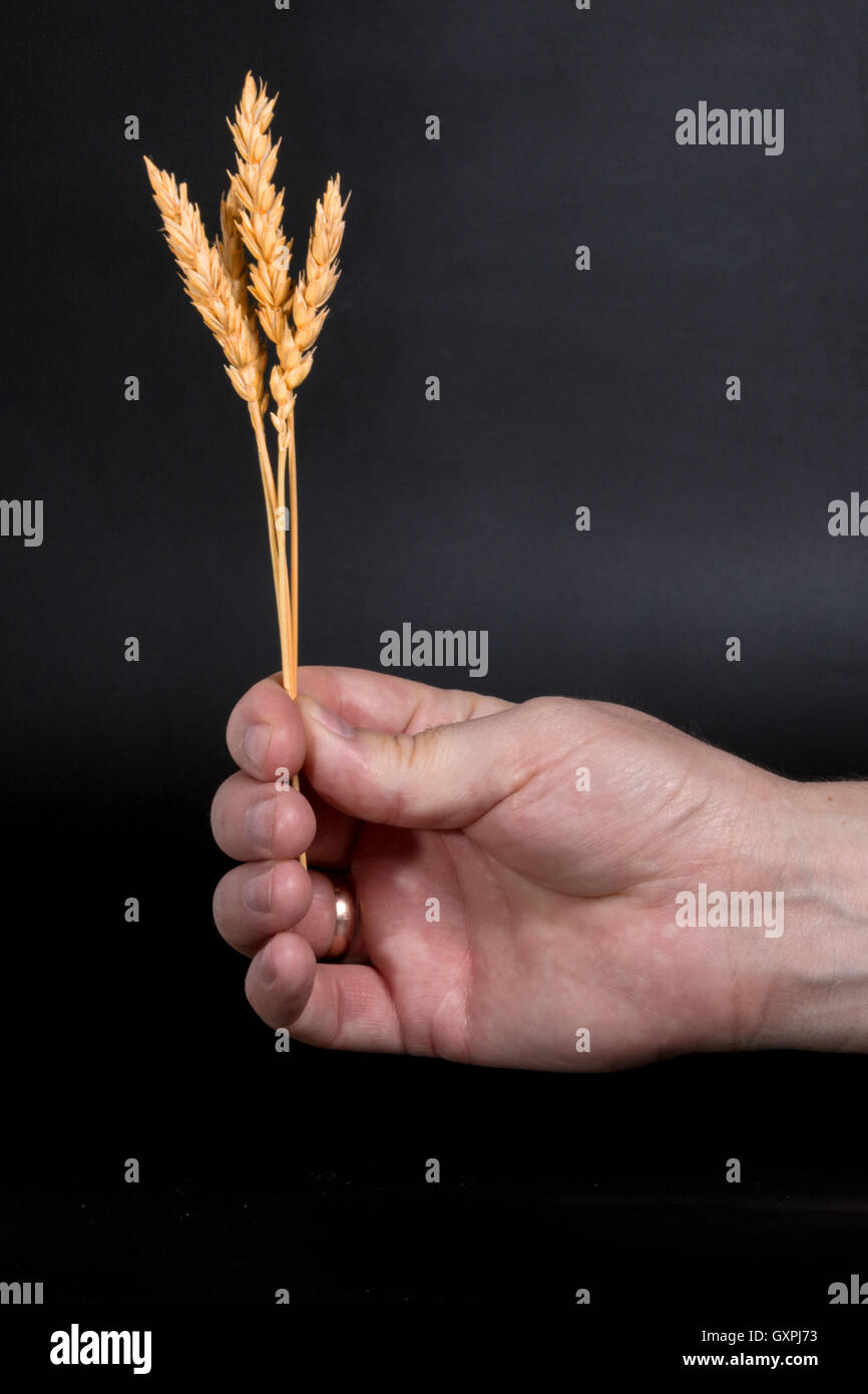 ears of wheat in the outstretched hand of man on a dark background Stock Photo