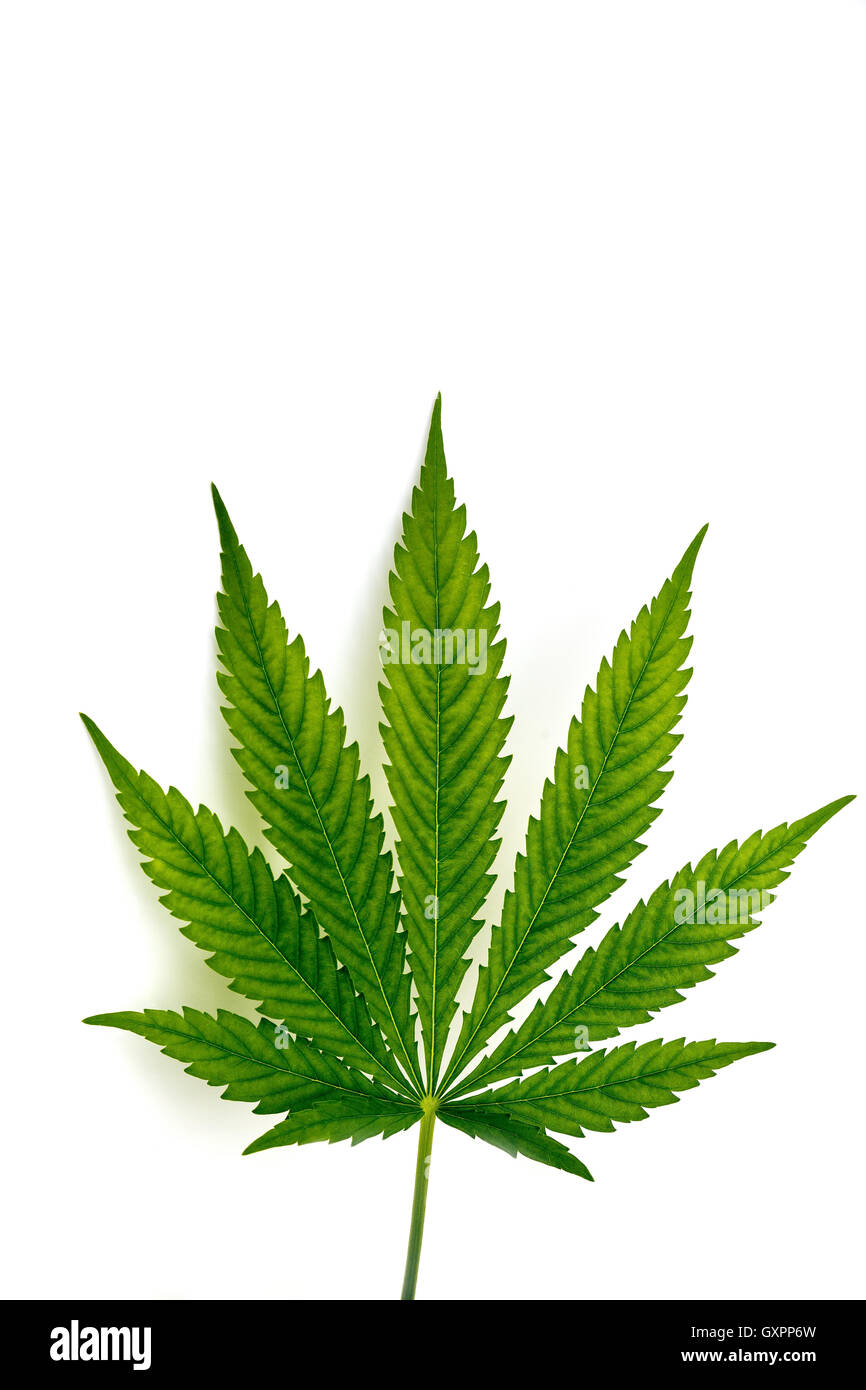 Leaf of cannabis plant isolated on white background - Stock Image