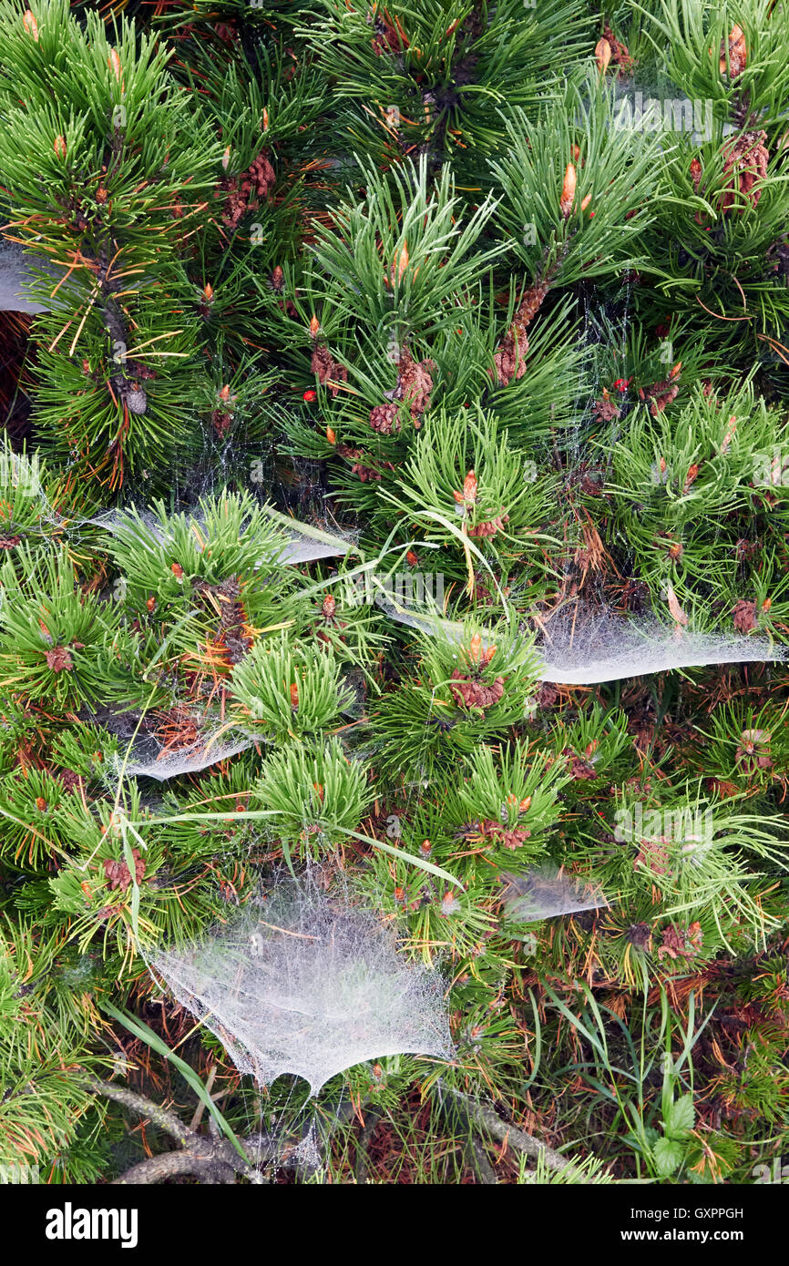 spider webs with water droplets, Finland - Stock Image