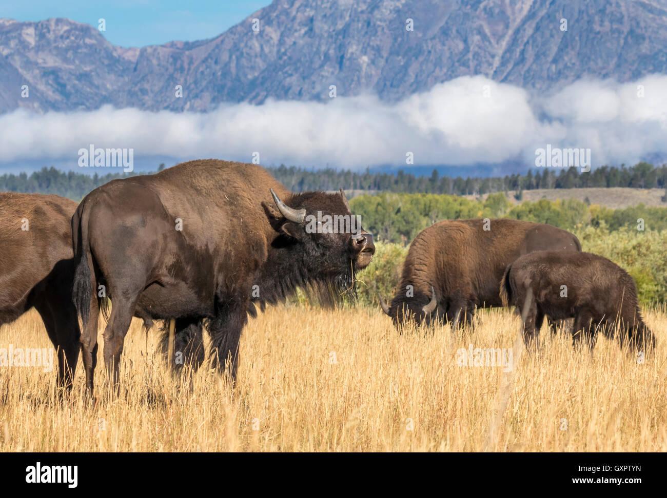 American bison (Bison bison) grazing in highland prairie, Grand Teton National Park, Wyoming, USA - Stock Image