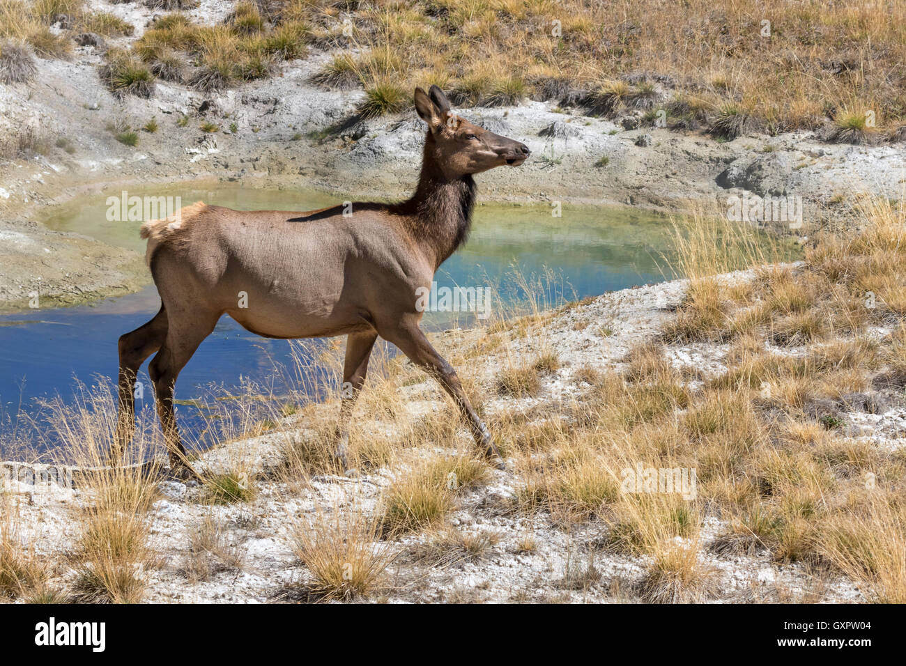 American elk (Cervus canadensis) female near a thermal spring, Yellowstone National Park, Wyoming, USA - Stock Image