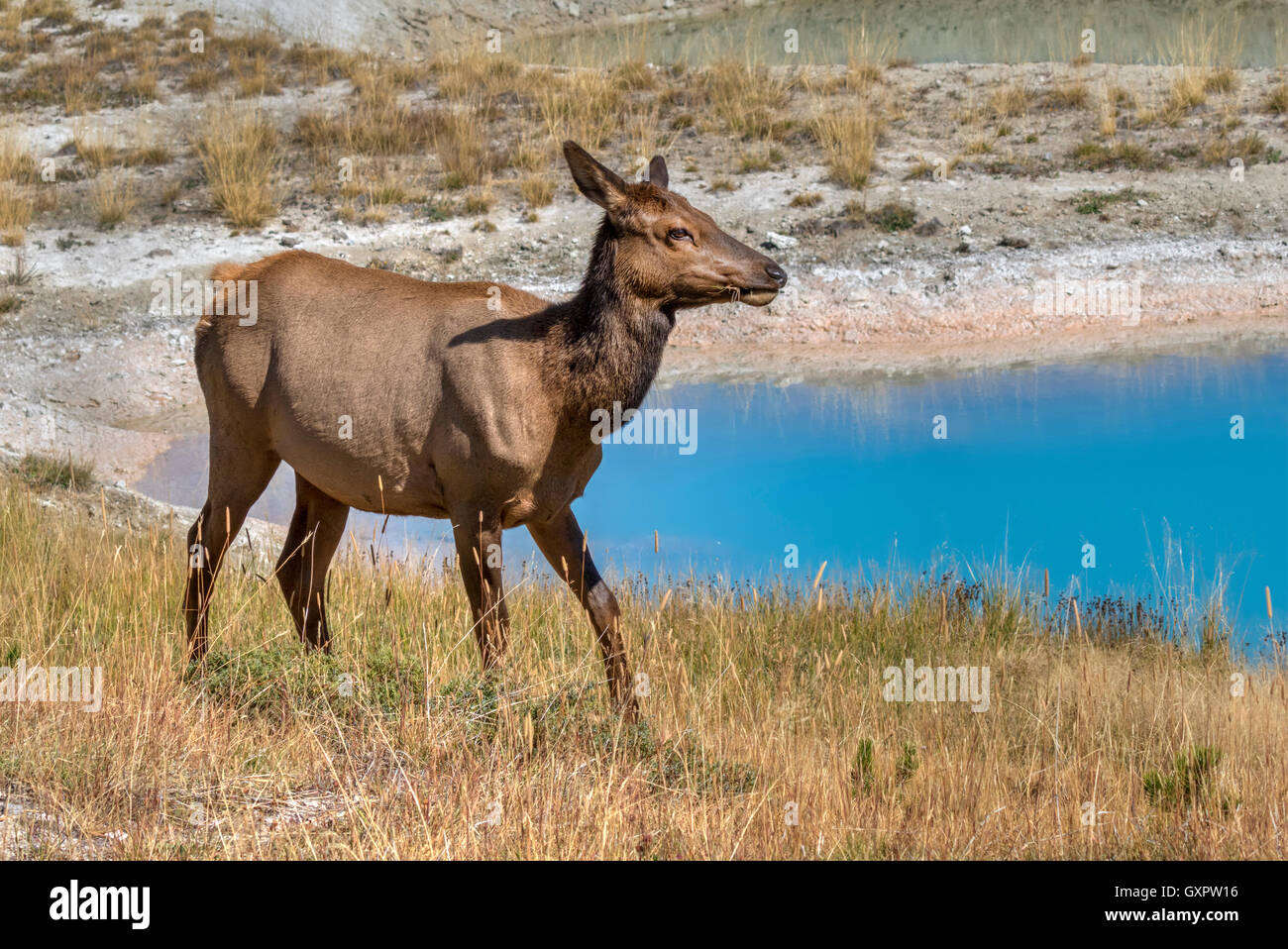 American elk (Cervus canadensis) female grazing near a thermal spring, Yellowstone National Park, Wyoming, USA - Stock Image