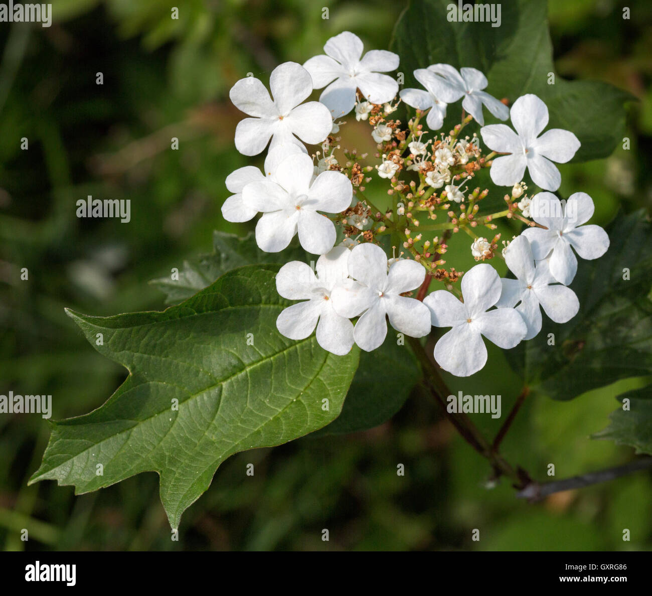 Guelder Rose Viburnum Opulus With Tiny White Flowers And Large White