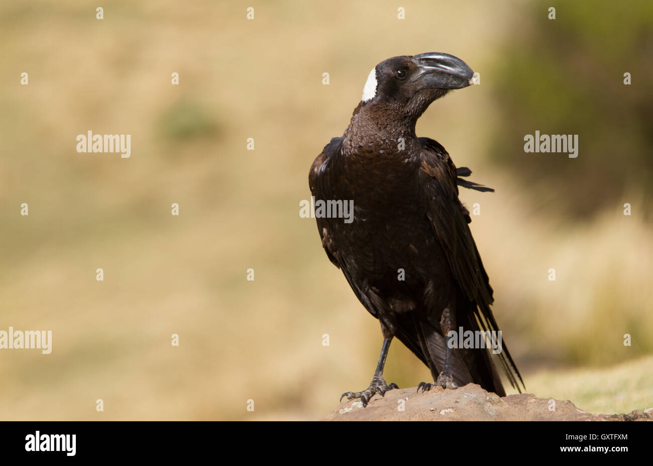Thick-billed Raven (Corvus crassirostris) perched on a rock - Stock Image
