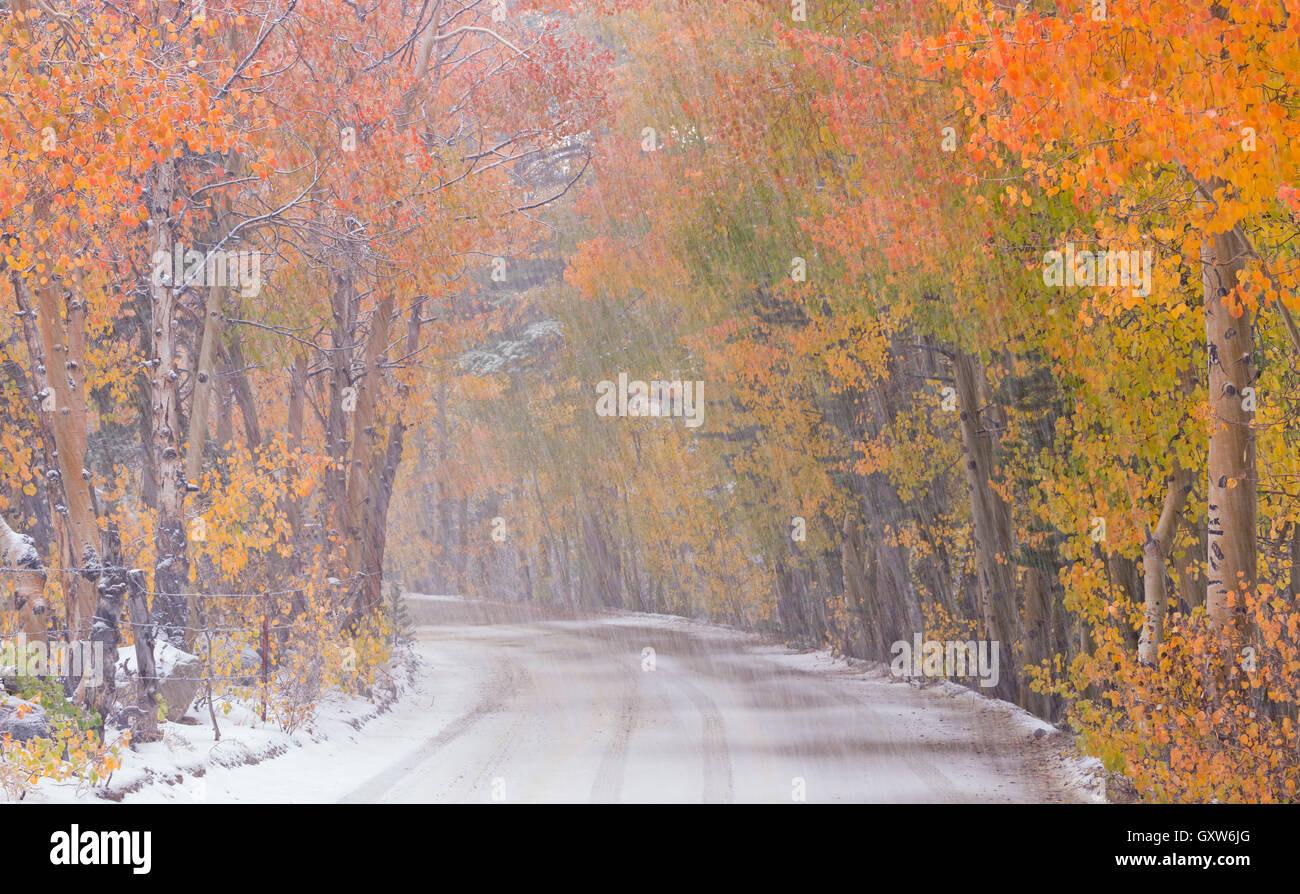 Snowfall and autumn foliage beside a high country road in the Eastern Sierras, Bishop Creek Canyon, California, - Stock Image