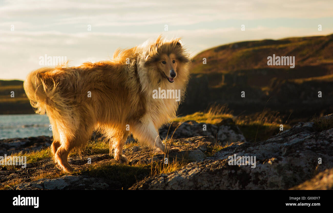 Scottish Sheepdog collie  running on the cliffs on the island of Eigg - Stock Image