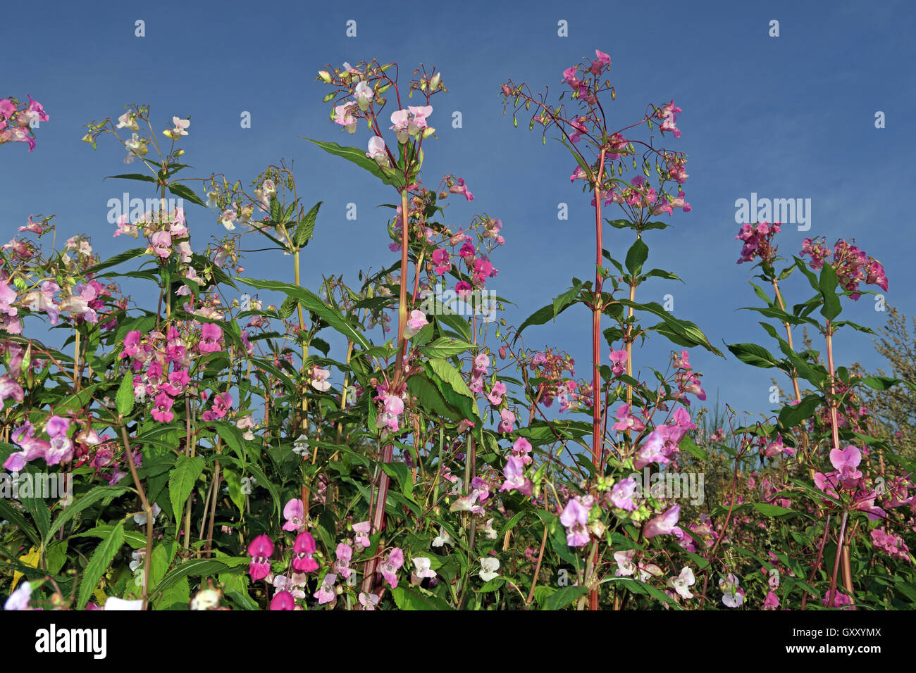 Pink Himalayan Balsam flowers, invasive weed, growing along Mersey river, Paddington Meadows, Warrington, Cheshire - Stock Image