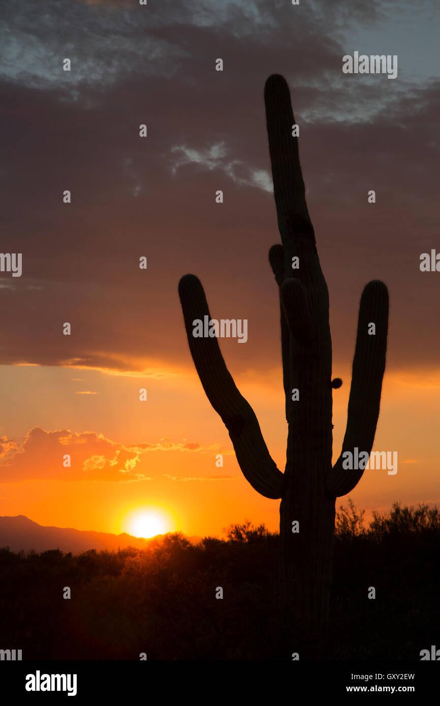 Saguaro cactus silhouette (Carnegiea gigantea) at sunset Stock Photo