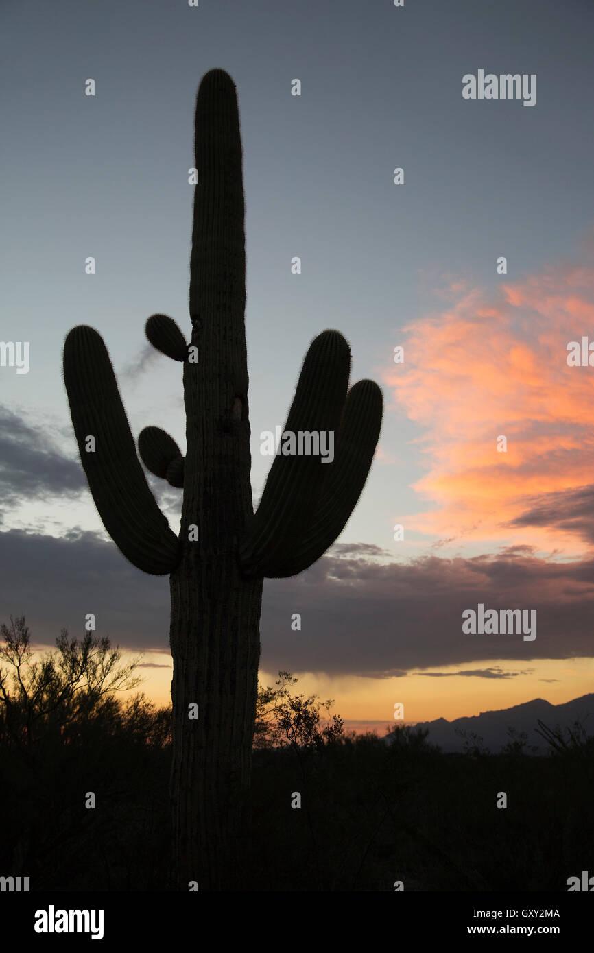 Saguaro cactus silhouette (Carnegiea gigantea) - Stock Image
