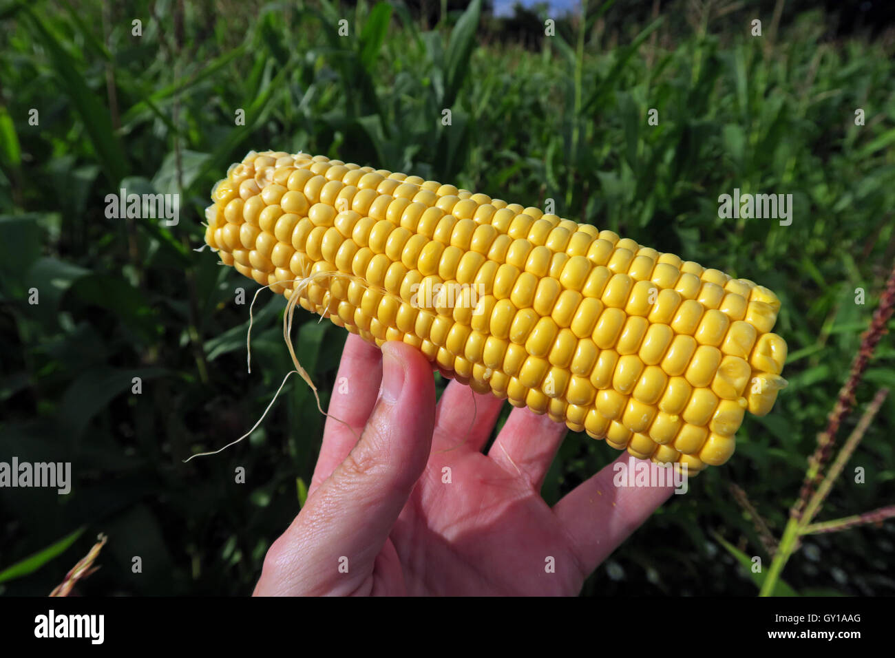 Sweetcorn cob held in a field of maize,Cheshire,England,UK - Stock Image