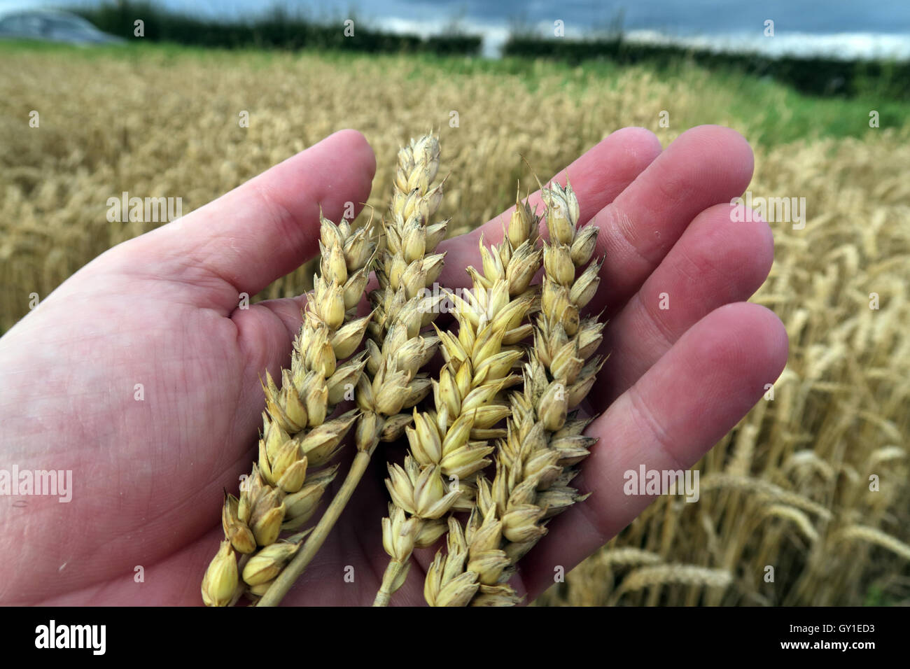 Holding barley in the hand,from a field in summer, Cheshire,England, UK - Stock Image