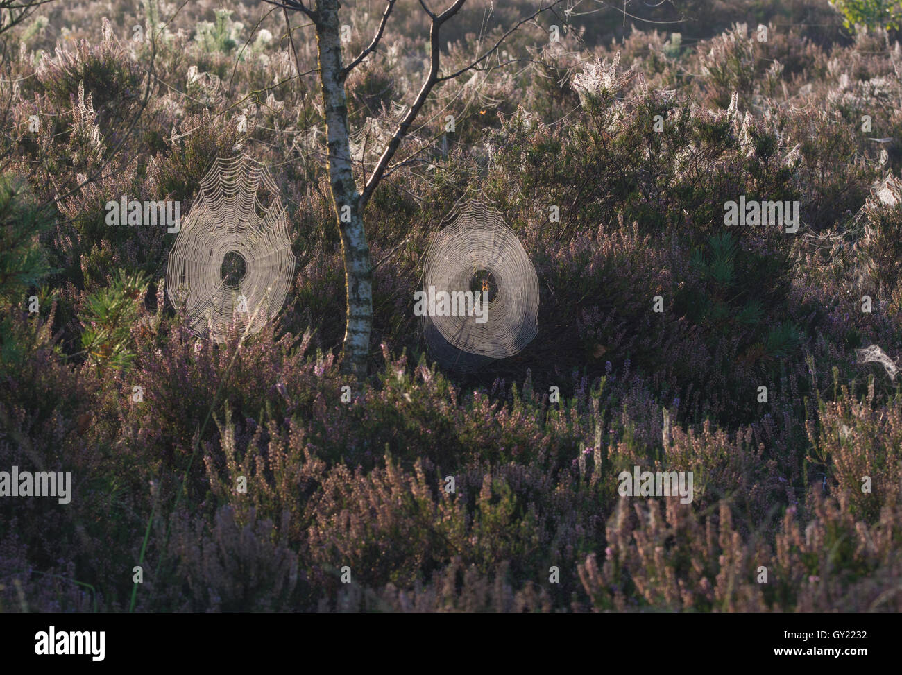 Two cobwebs or spider's webs on heathland in early morning light - Stock Image