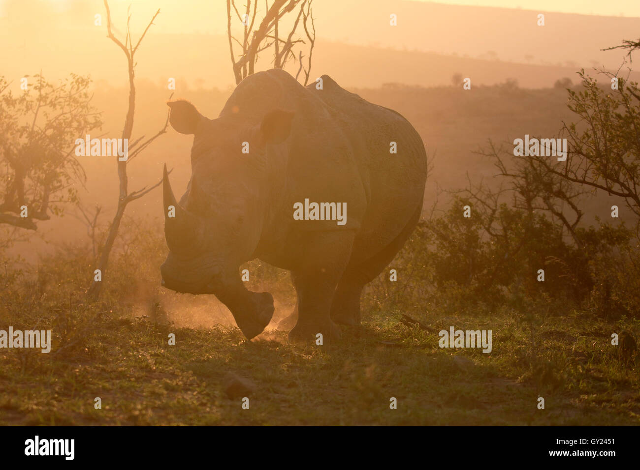 White rhinoceros, Diceros simus, single mammal,  South Africa, August 2016 - Stock Image