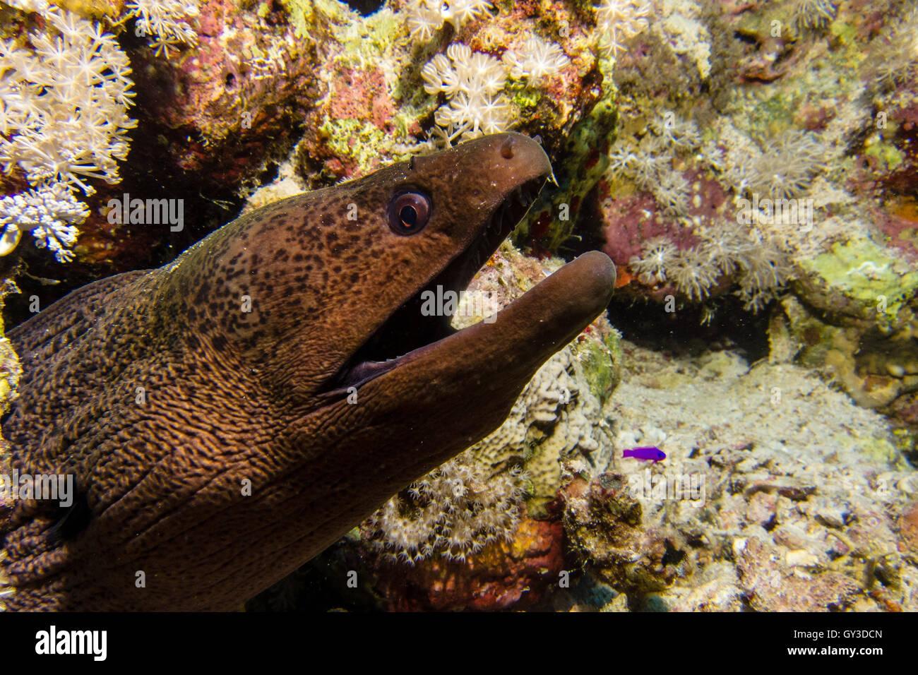 Big black moray eel - Stock Image