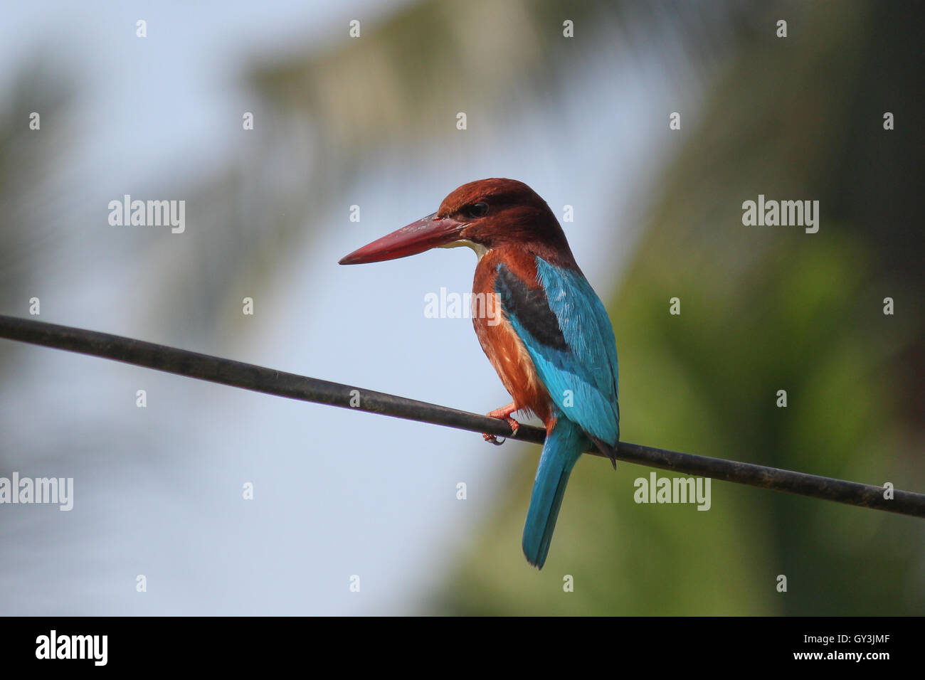 White-throated Kingfisher Halcyon smyrnensis beautiful blue bird perched on wire - Stock Image